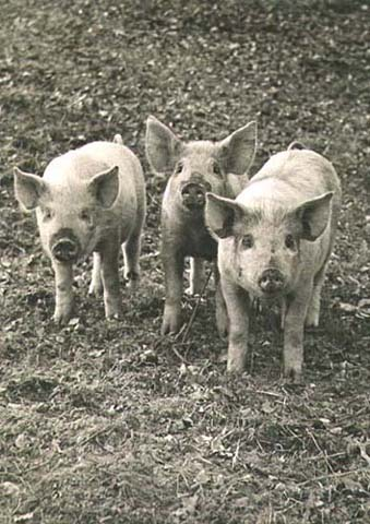 Wolfgang Suschitzky - Three Little Pigs